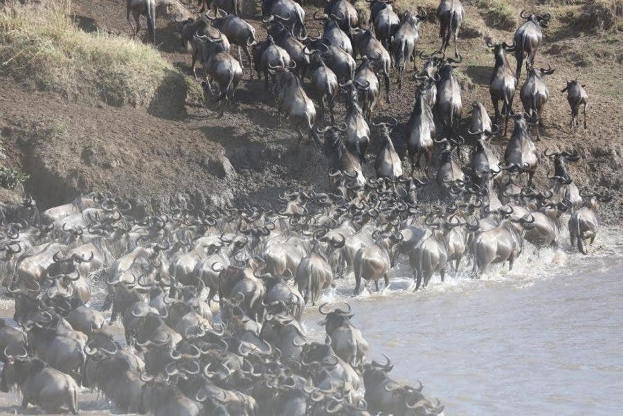 wildebeest-crossing6