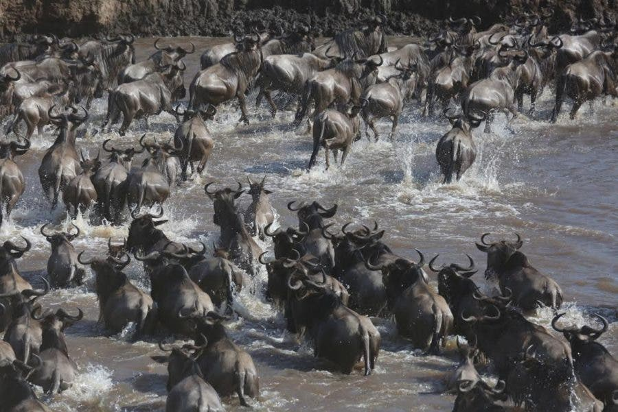 wildebeest-crossing7
