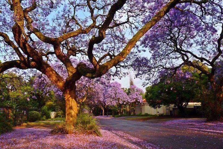 jacaranda-tree-pretoria11