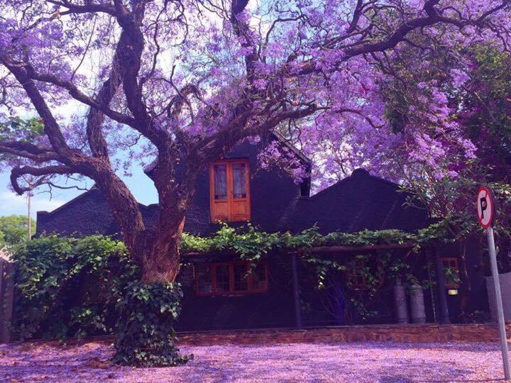 jacaranda-tree-pretoria12