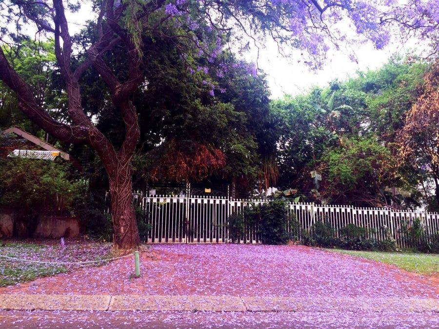 jacaranda-tree-pretoria14