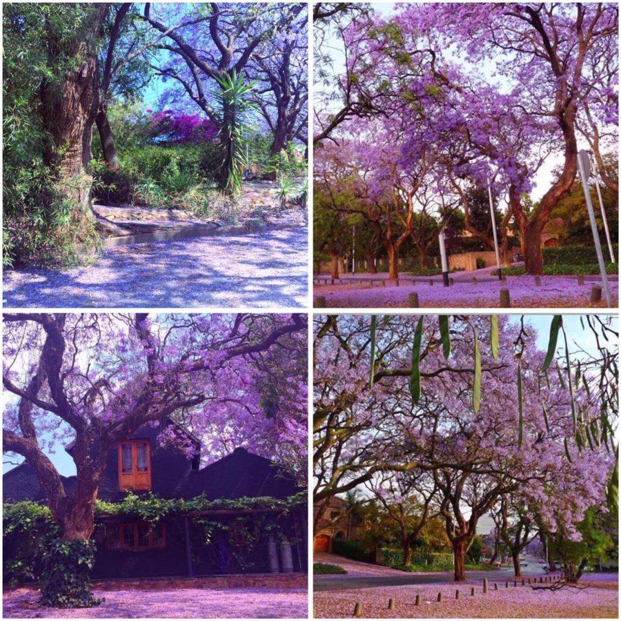 jacaranda-tree-pretoria4