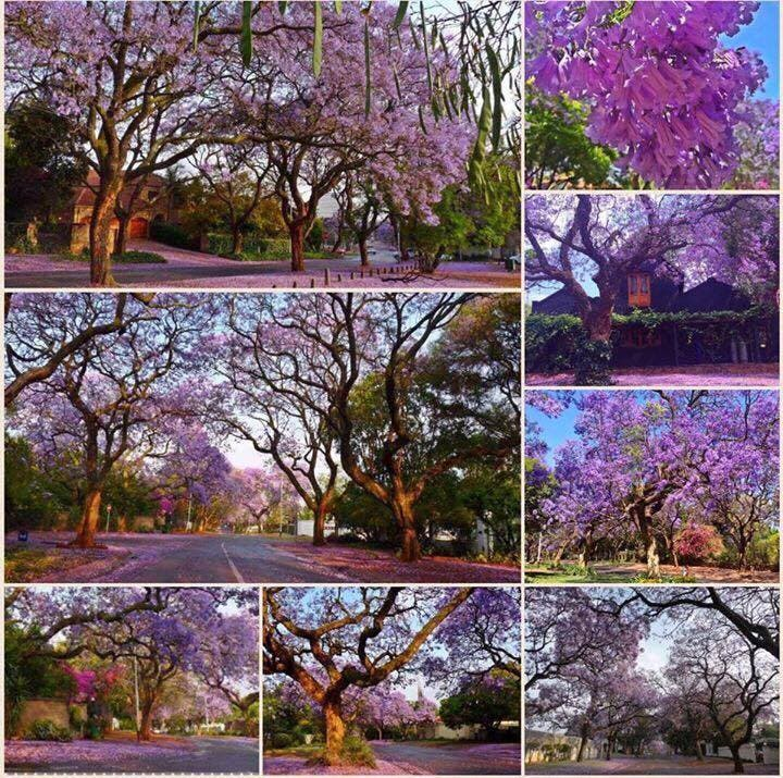 jacaranda-tree-pretoria5