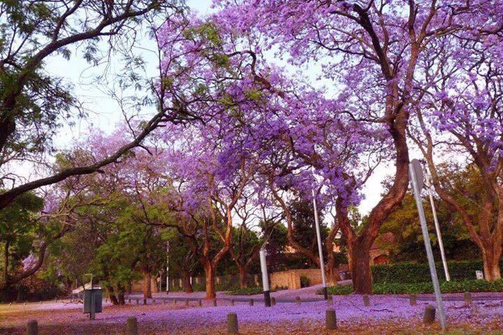 jacaranda-tree-pretoria9