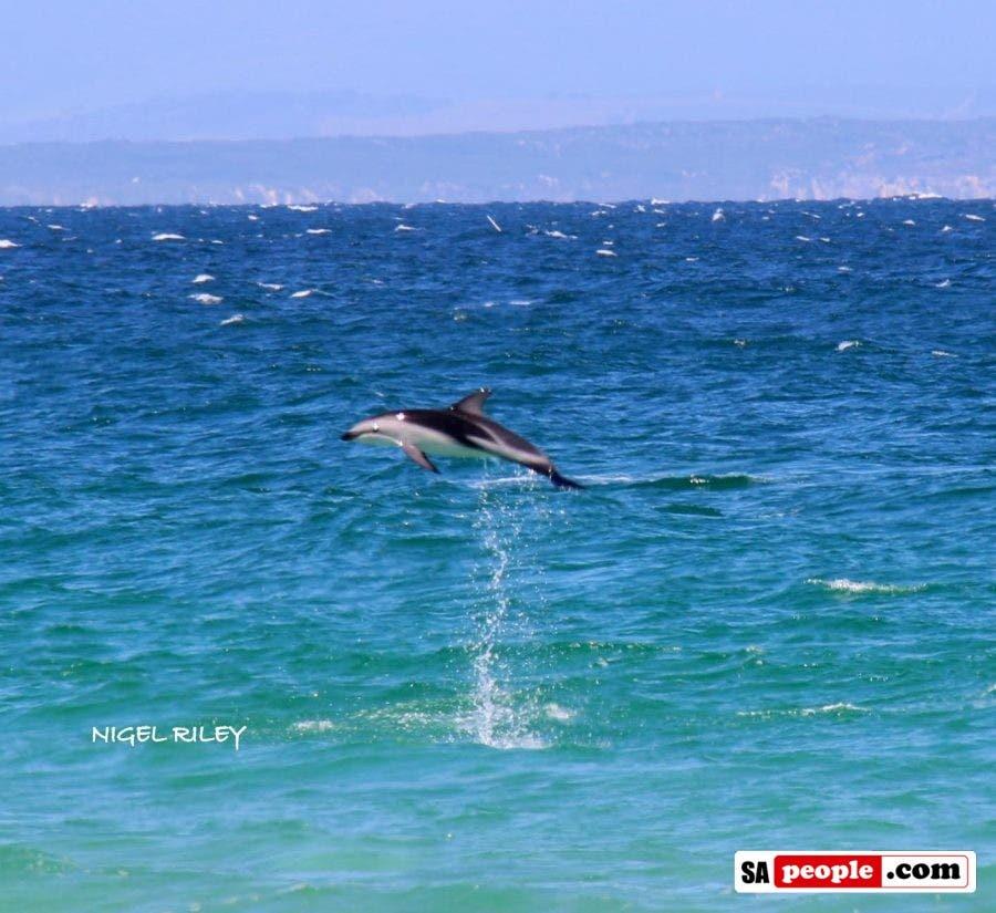 dolphin-at-fish-hoek