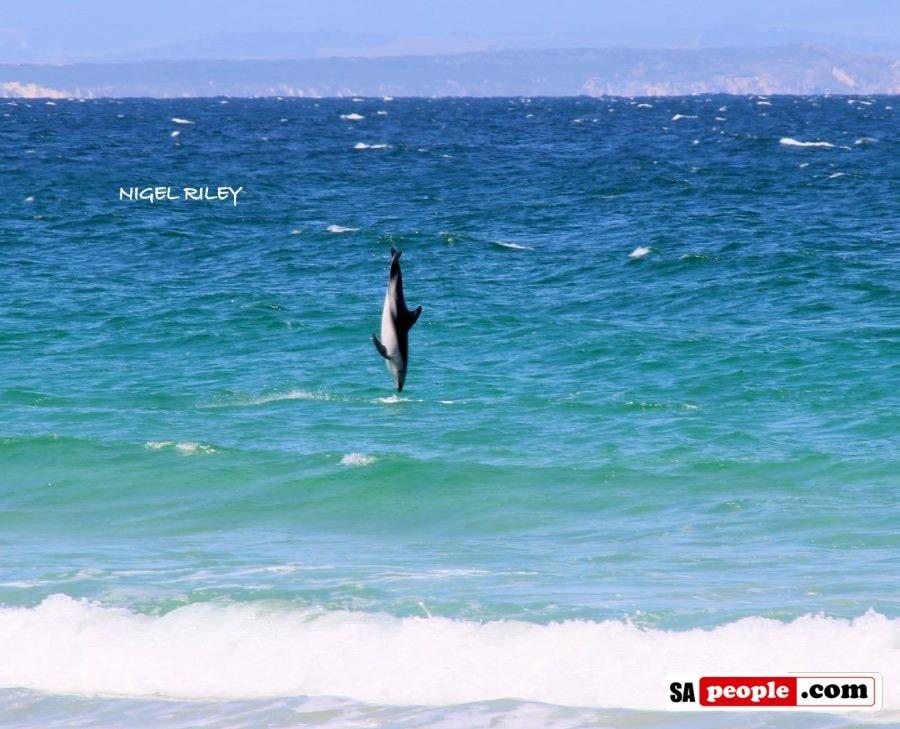 dolphin-at-fish-hoek4