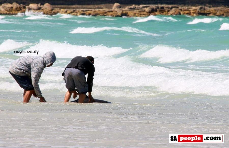fishermen-save-dolphin-at-fish-hoek4