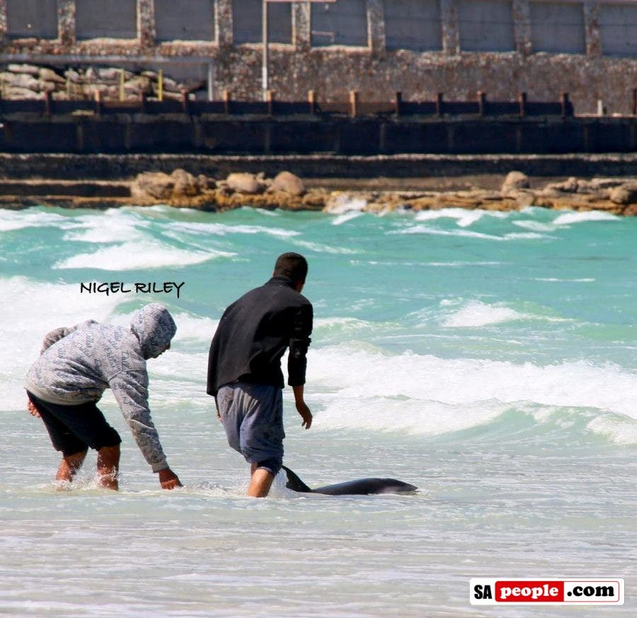 fishermen-save-dolphin-at-fish-hoek6