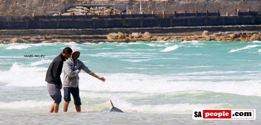 fishermen-save-dolphin-at-fish-hoek7