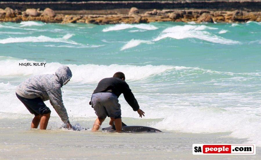 fishermen-save-dolphin-at-fish-hoek9