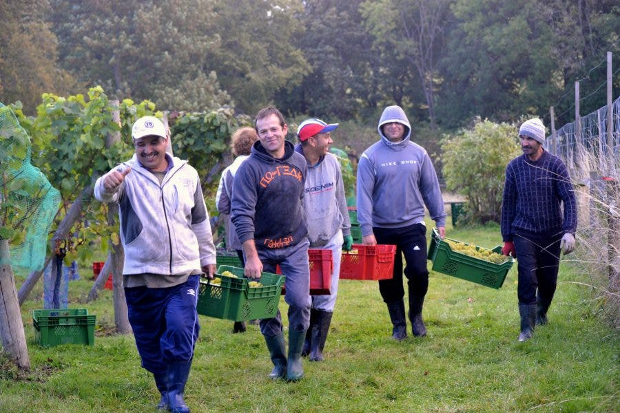 Surrey community help with the grape harvest at High Clandon