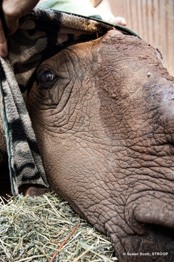Hope's Patience - The world famous poaching survivor Hope waits while her face is bandaged up. This was taken during one of her last prodedures. She died last month. © Susan Scott