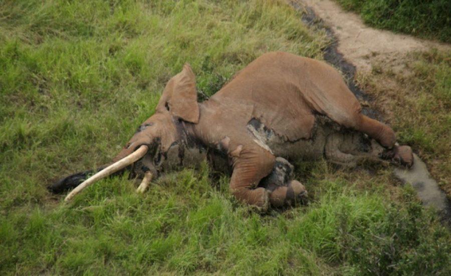 <small>04.01.2017 - Tsavo-CA&#160;: Kadaver des Giant Tusker Satao II (SA2)</small>