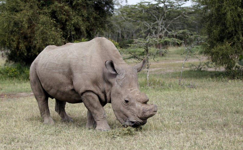 sports horny male seeks mate kenyas last northern white rhino joins tinder reuters