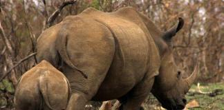 ranger arrests five rhino poachers in kruger national park