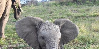kariega-elephant-baby-HannahMorrison