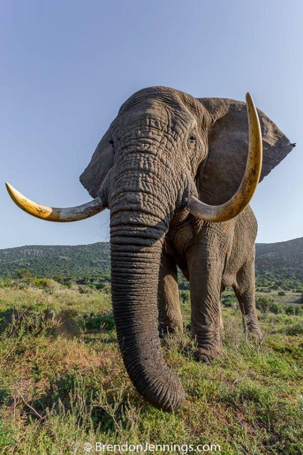 kariega-elephant-tusks-BrendanJennings