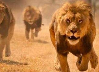 lions on the loose from Kruger National Park