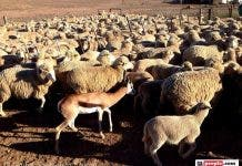 springbok sheep in the Karoo
