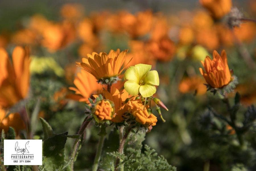 West coast wonderland its wild flower time again in south africa its well worth a visit and its not just the flowers that are beautiful mightylinksfo