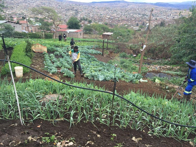 From A Dumpsite To A Vegetable Garden In South Africa