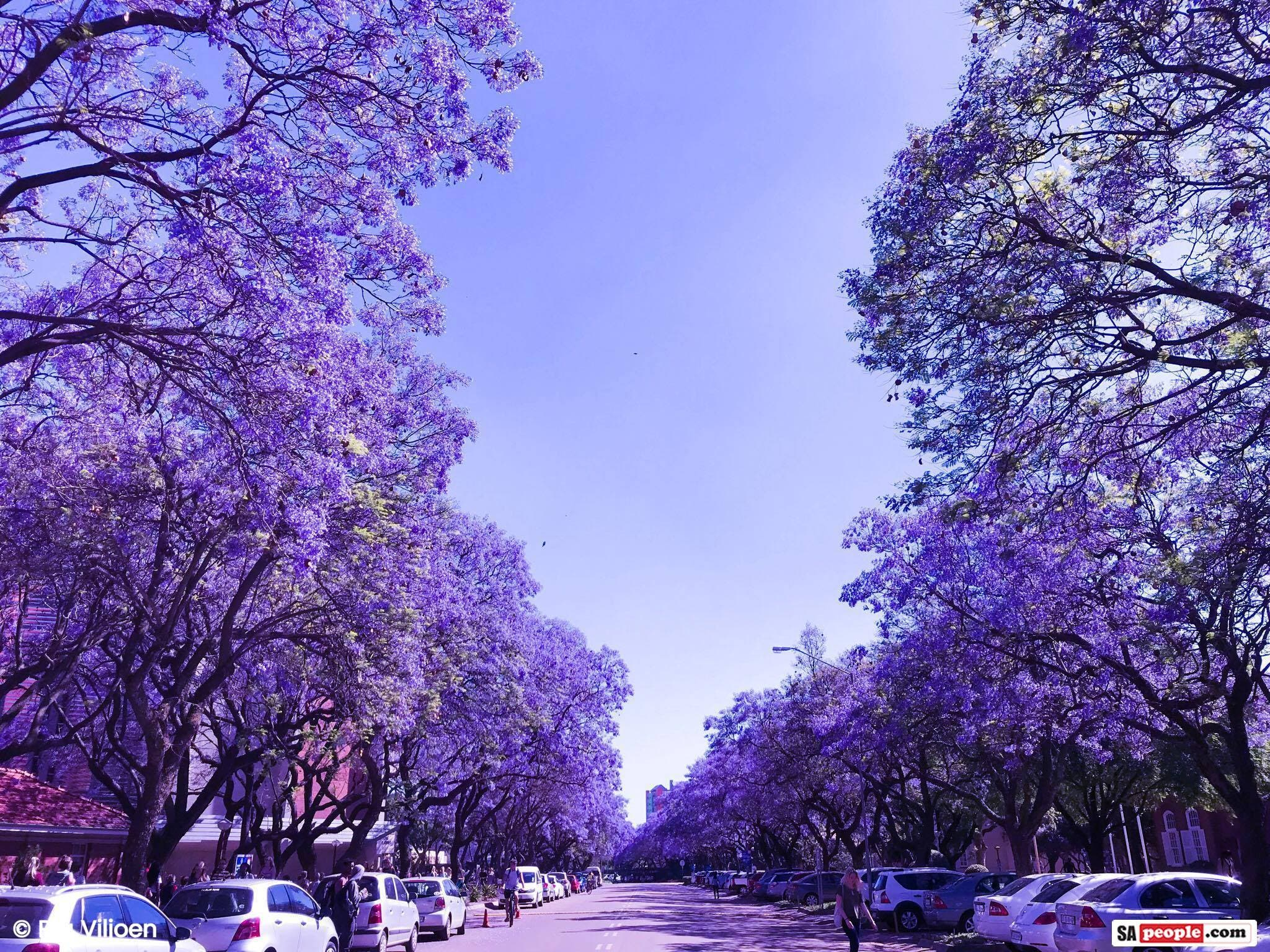 Jacaranda tree photos purple and white blossoms in jacaranda city jacaranda tree photos purple and white blossoms in jacaranda city pretoria south africa sapeople your worldwide south african community izmirmasajfo