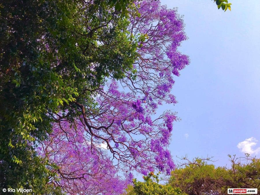 Jacaranda tree photos purple and white blossoms in jacaranda city ria also captured the beautiful and more rare white jacaranda tree which is apparently a mutation of the original the purple flowers of the jacaranda mightylinksfo