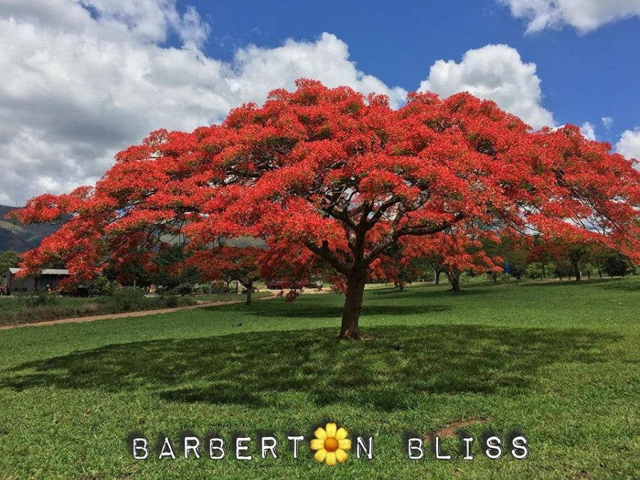 red blossoms 11