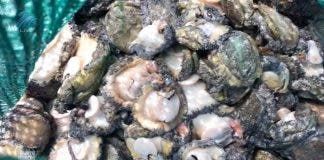 abalone poaching suspects arrested south africa