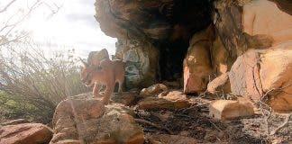 caracal on Table Mountain