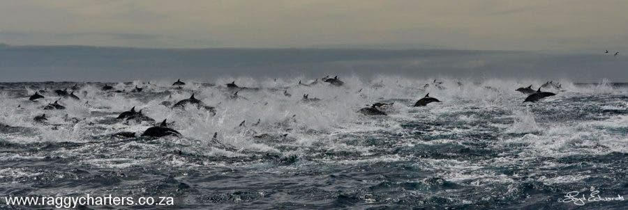 Thousands of dolphins spotted in a super pod in the Eastern Cape a couple of years ago, South Africa