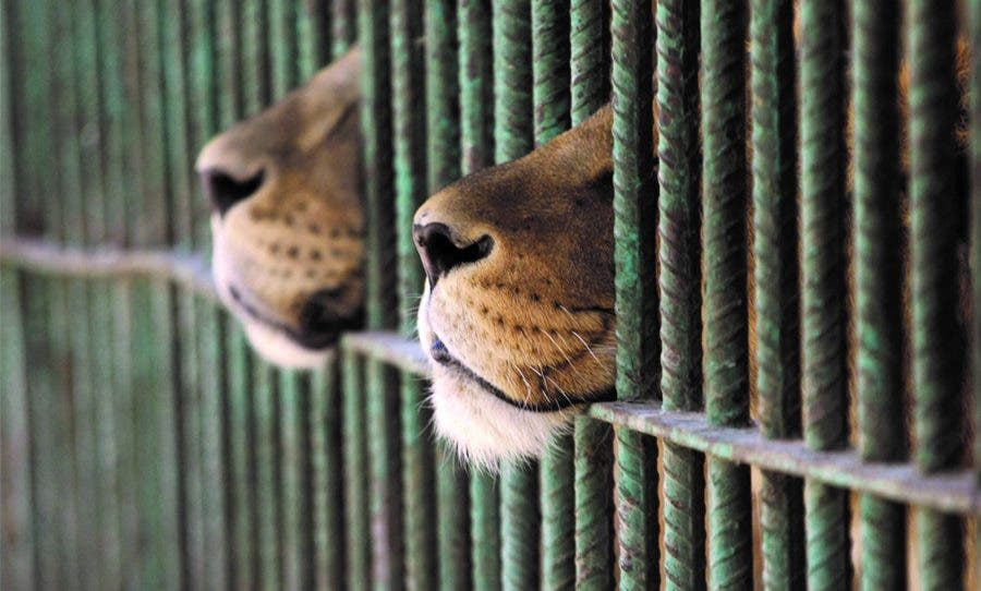 captive breeding lions in cage south africa