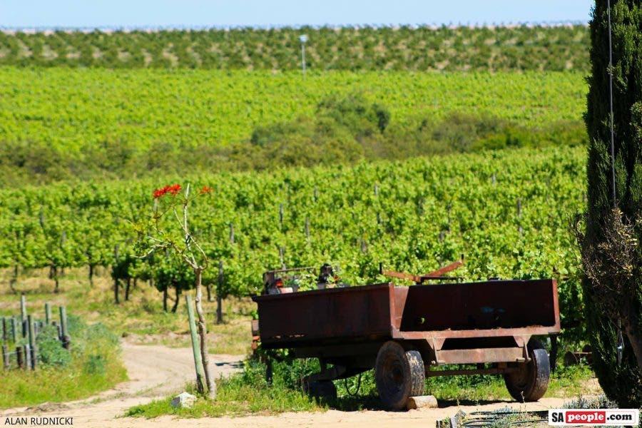 lavendar vineyard old truck