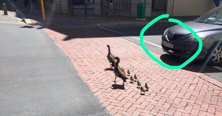 Family of ducklings crossing the road in Cape Town.