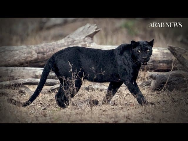 c588a4ff948be LOISABA CONSERVANCY, Kenya – Images of a rare African black leopard have  been captured in Kenya, the first verifiable record of the animal for  nearly 100 ...