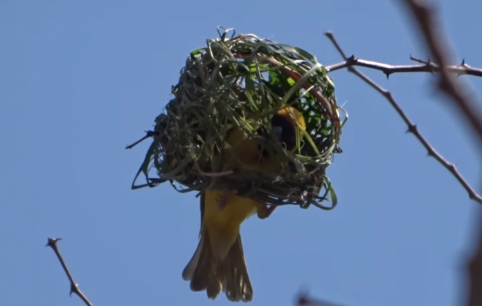 Watch How A Weaver Bird Builds A Nest In A Single Day Sapeople