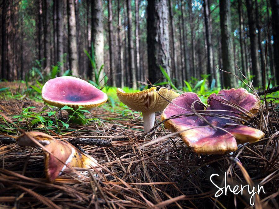 magic mushrooms mpumalanga south africa barberton travel