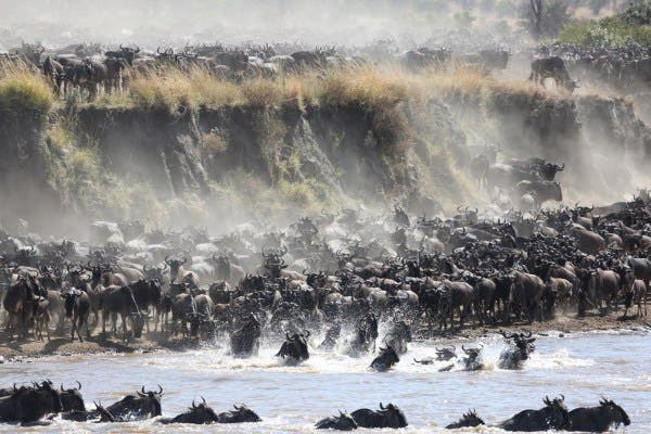 "Photo by Craig Doria - ""Layer upon layer of wildebeest crossing the crocodile-infested Mara River, Northern Serengeti, Tanzania."""