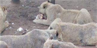 lions-Mange-lions