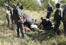 rhino dehorning kruger national park