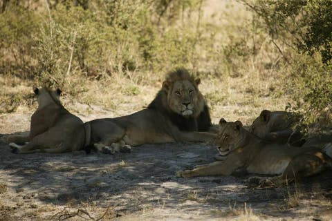 Male lion Seduli, which was popular with safari