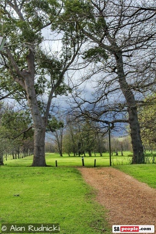 camphor trees wine estate vergelegen south africa