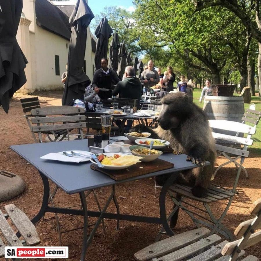 Baboon at restaurant in south africa