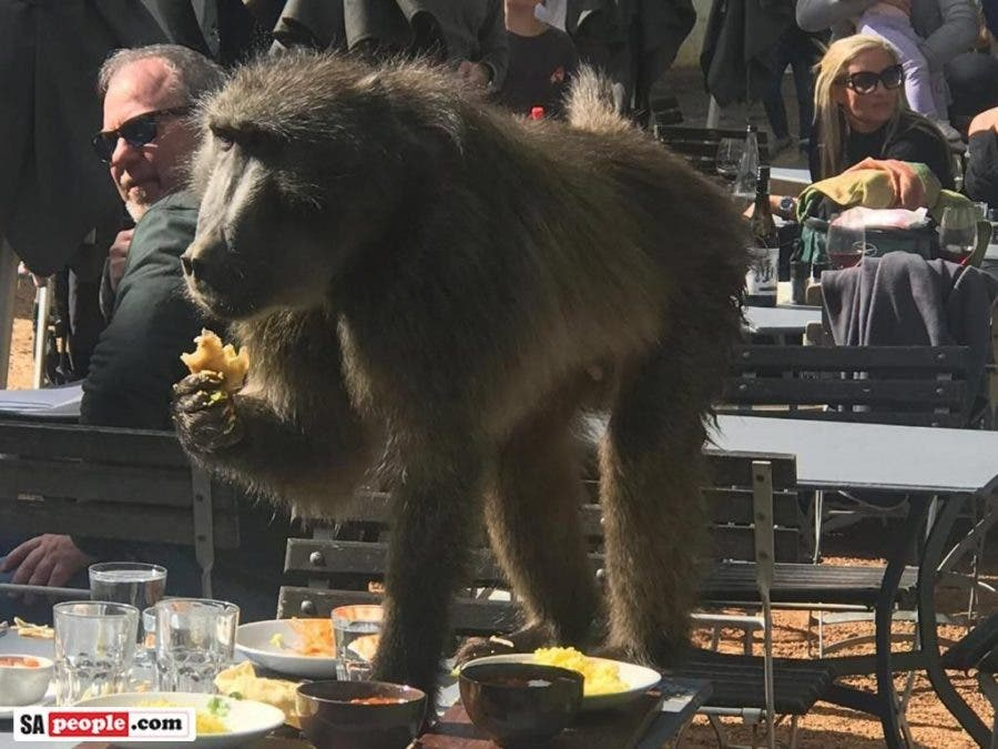 Baboon eating garlic bread