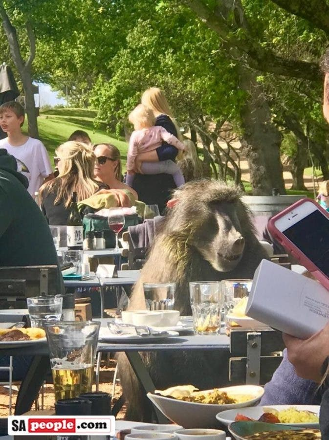 Baboon dining Cape Town