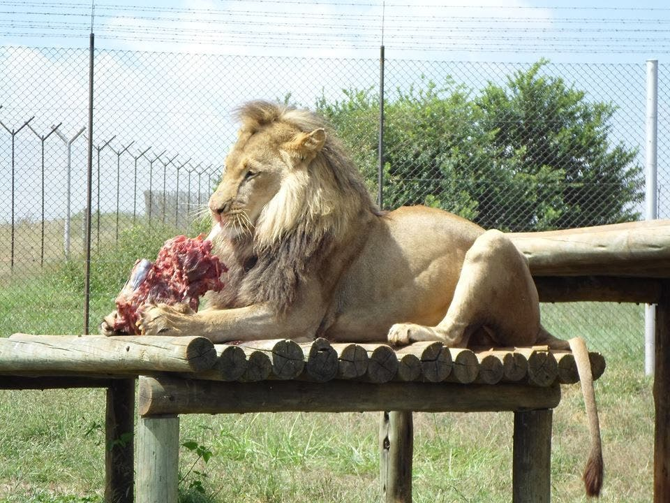 lions killed by poachers for body parts south africa