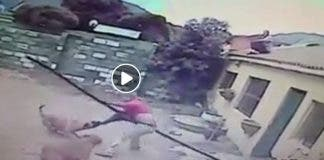 The-have-a-go-hero who chased the suspected burglar across roofs settles down for a ringside seat as the two boerboel/rottweiller guards attack their target who tries to fend them off with a plastic pole