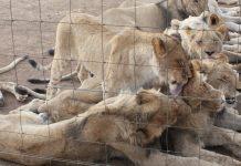 Lions Farming reclassified farm animals