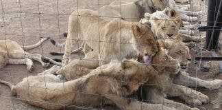 Lions Farming reclassified farm animals