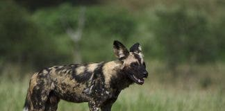 African Wild Dogs are once again roaming free in the Tembe Elephant Park